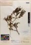 Pithecellobium schomburgkii Benth., BRITISH GUIANA [Guyana], R. H. Schomburgk 874, Isotype, F