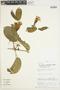 Anemopaegma chrysanthum Dugand, PERU, H. Osores 2745, F