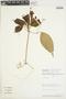 Anemopaegma chrysanthum Dugand, PERU, 3102, F