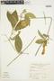 Anemopaegma chrysanthum Dugand, PERU, A. Sagástegui A. 8674, F