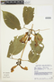 Anemopaegma chrysanthum Dugand, COLOMBIA, P. A. Silverstone-Sopkin 6088, F