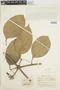 Anemopaegma chrysanthum Dugand, COLOMBIA, E. P. Killip 1289685, F