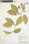 Anemopaegma chrysanthum Dugand, ECUADOR, C. Quelal 1152, F