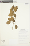 Amphilophium aschersonii Ule, Brazil, M. A. Nadruz Coelho 521, F