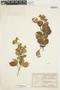 Amphilophium bracteatum (Cham.) L. G. Lohmann, Brazil, F. C. Hoehne 1088, F