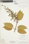 Amphilophium magnoliifolium (Kunth) L. G. Lohmann, Brazil, G. T. Prance 2969, F