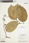 Amphilophium magnoliifolium (Kunth) L. G. Lohmann, Brazil, W. C. Steward 20322, F