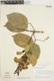 Amphilophium mansoanum (DC.) L. G. Lohmann, Brazil, H. S. Irwin 18854, F