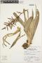Racinaea multiflora var. tomensis (L. B. Sm.) M. A. Spencer & L. B. Sm., Peru, A. Sagástegui A. 15043, F