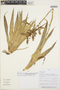 Racinaea multiflora var. decipiens (André) M. A. Spencer & L. B. Sm., PERU, F