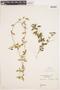 Cynanchum lancifolium image