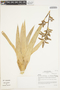 Racinaea multiflora var. tomensis (L. B. Sm.) M. A. Spencer & L. B. Sm., Peru, I. M. Sánchez Vega 3864, F