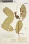 Anemopaegma chrysanthum Dugand, Colombia, E. P. Killip 38839, F
