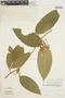 Anemopaegma chrysanthum Dugand, Peru, J. Schunke Vigo 6244, F