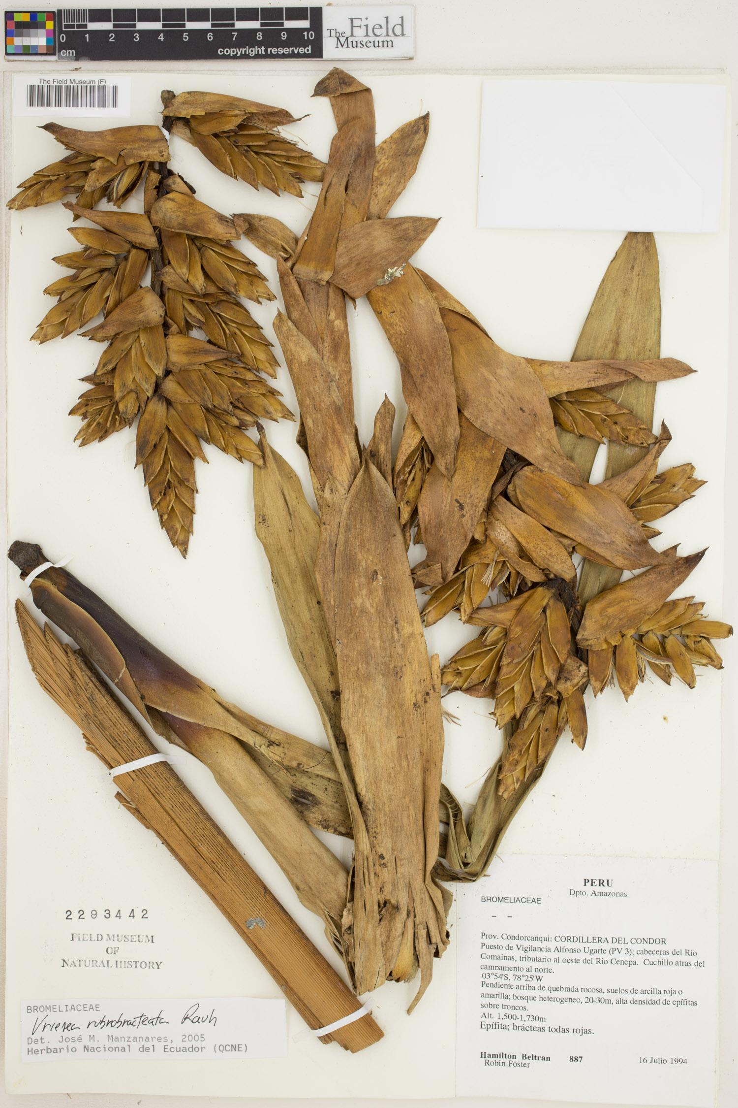 Specimen: Vriesea rubrobracteata