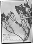 Field Museum photo negatives collection; Wien specimen of Alona vernicosa Phil., CHILE, R. A. Philippi, Isotype, W