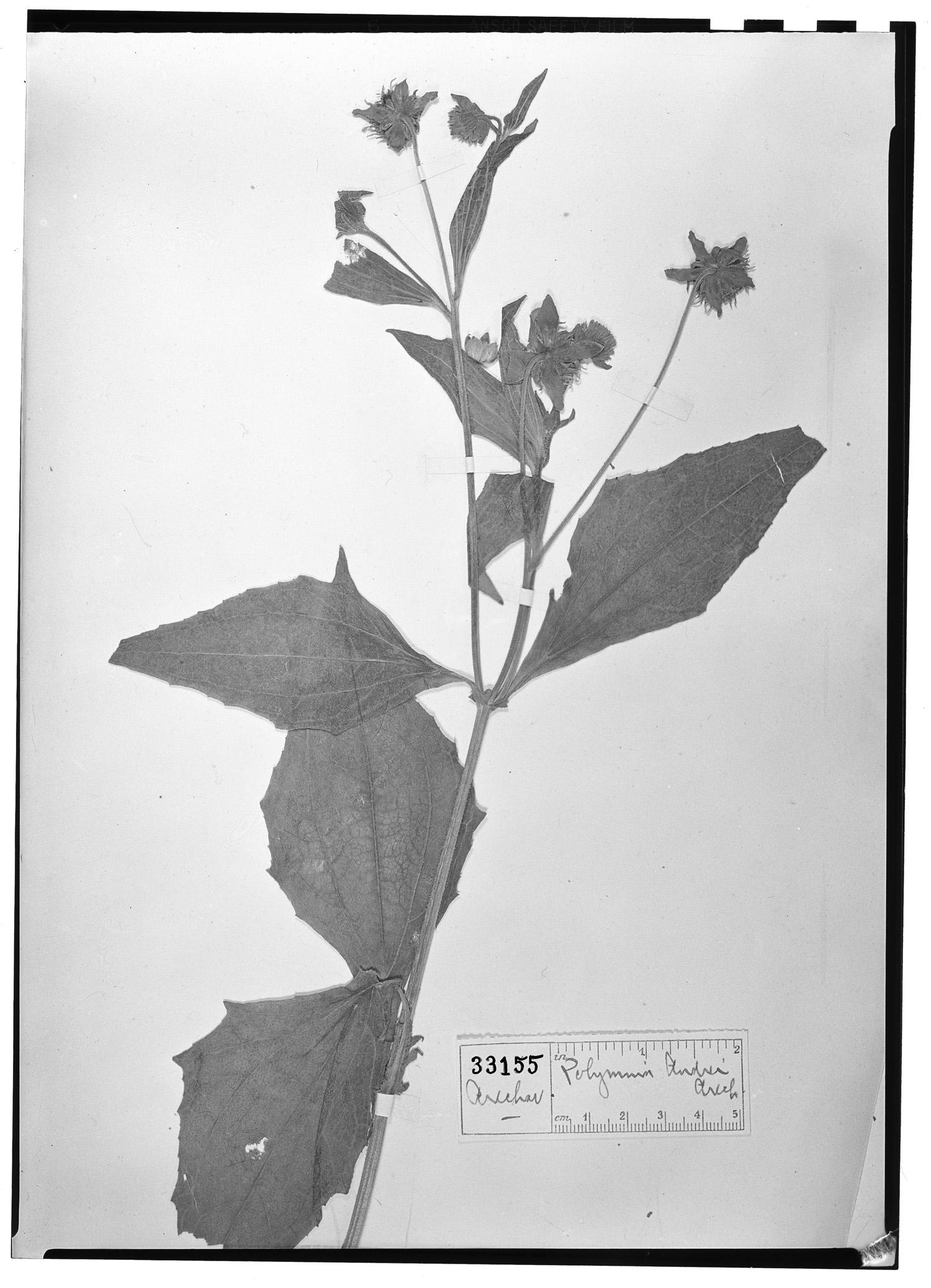 Smallanthus connatus image