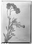 Baccharis racemosa image