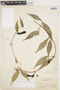 Dolichandra uncata (Andrews) L. G. Lohmann, British Guiana, J. S. de la Cruz 4157, F