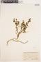 Diplolepis geminiflora image