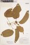 Bignonia hyacinthina (Standl.) L. G. Lohmann, BRITISH GUIANA [Guyana], A. C. Smith 3238, F