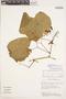 Bignonia hyacinthina (Standl.) L. G. Lohmann, VENEZUELA, 378, F