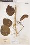 Bignonia hyacinthina (Standl.) L. G. Lohmann, H. H. Rusby 134, F