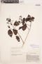 Bignonia hyacinthina (Standl.) L. G. Lohmann, VENEZUELA, J. A. Steyermark 61161, F