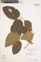 Bignonia hyacinthina (Standl.) L. G. Lohmann, COLOMBIA, A. H. Gentry 9322, F