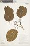Bignonia hyacinthina (Standl.) L. G. Lohmann, BRAZIL, G. T. Prance 7268, F