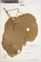 Bignonia hyacinthina (Standl.) L. G. Lohmann, BOLIVIA, A. H. Gentry 77585, F