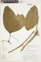 Bignonia hyacinthina (Standl.) L. G. Lohmann, BOLIVIA, E. Wade Davis 1206, F