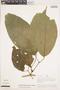 Bignonia hyacinthina (Standl.) L. G. Lohmann, PERU, A. H. Gentry 20883, F