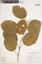 Bignonia hyacinthina (Standl.) L. G. Lohmann, PERU, A. H. Gentry 16286, F