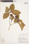 Bignonia hyacinthina (Standl.) L. G. Lohmann, PERU, 1434, F