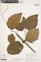 Bignonia hyacinthina (Standl.) L. G. Lohmann, PERU, A. H. Gentry 19709, F