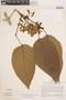 Bignonia hyacinthina (Standl.) L. G. Lohmann, PERU, J. Schunke Vigo 5010, F