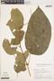 Bignonia hyacinthina (Standl.) L. G. Lohmann, PERU, A. H. Gentry 19027, F