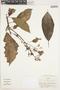 Saurauia strigillosa Triana & Planch., Colombia, J. Cuatrecasas 26162, F