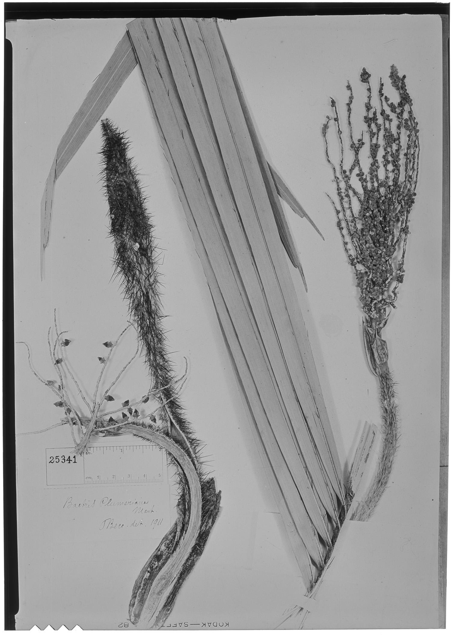 Bactris cubensis image