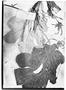 Cecropia obtusa image