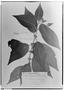 Field Museum photo negatives collection; Genève specimen of Clidemia bonplandii Cogn., BRAZIL, P. Salzmann, Type [status unknown], G