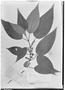 Field Museum photo negatives collection; Genève specimen of Clidemia fendleri Cogn., VENEZUELA, A. Fendler 438, Type [status unknown], G