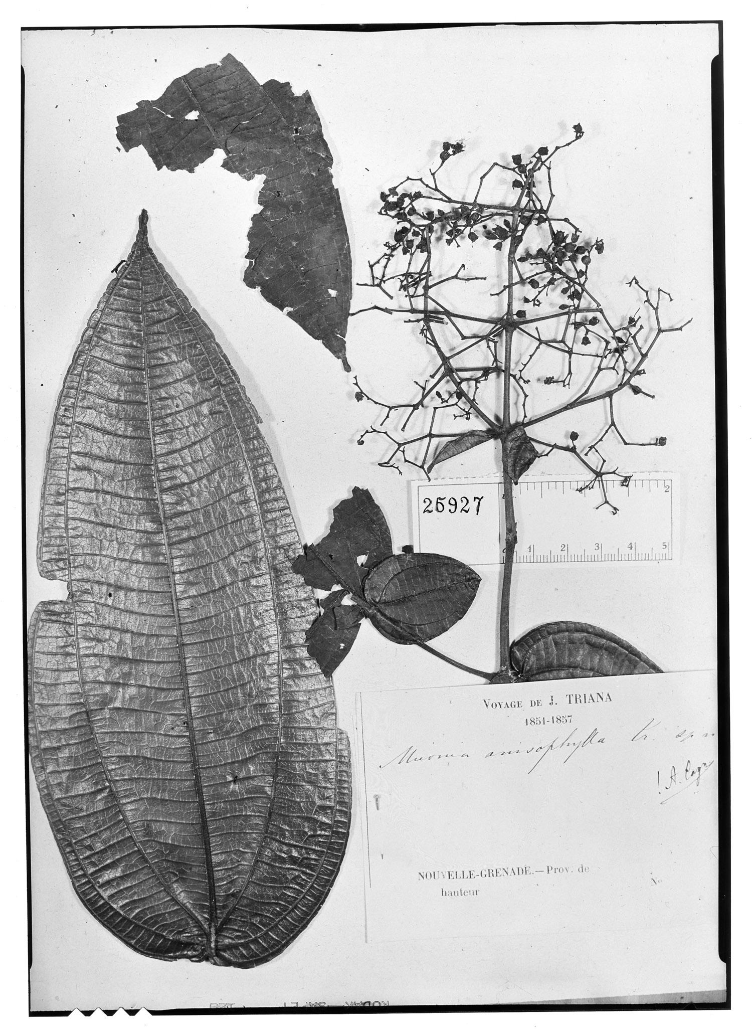 Miconia anisophylla image