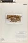 Bignonia hyacinthina (Standl.) L. G. Lohmann, PERU, 7952, F