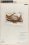 Bignonia hyacinthina (Standl.) L. G. Lohmann, PERU, 7608, F