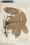 Protium warmingianum Marchand, BRAZIL, F