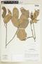 Protium Burm. f., BRAZIL, F