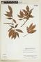 Tetragastris panamensis (Engl.) Kuntze, VENEZUELA, F