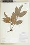 Tetragastris panamensis (Engl.) Kuntze, BRAZIL, F